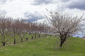 picture of apple orchard  - Rows of apple trees blooming on a countryside orchard during springtime - JPG