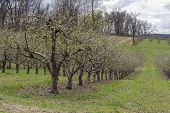 picture of orchard  - Rows of apple trees blooming on a countryside orchard during springtime - JPG