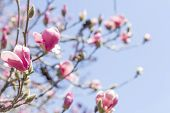 stock photo of magnolia  - Beautiful spring bloom for magnolia tulip trees pink flowers  - JPG