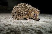 image of mammal  - West European Hedgehog Wild Mammal  - JPG