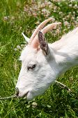 foto of goat horns  - Close up shot of a horned goat grazing on a meadow - JPG