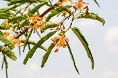 picture of tamarind  - There are flowers of tamarind and tamarind leaves - JPG