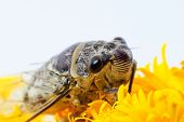 picture of marigold  - nsect singing Cicada on a yellow marigold flower - JPG