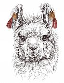 stock photo of lamas  - realistic sketch of LAMA Alpaca - JPG