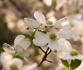 picture of dogwood  - Dogwood flower with a blurred background from Pittsburgh - JPG