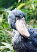 image of stork  - The shoebill also known as whalehead or shoe - JPG