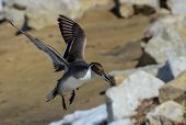 stock photo of pintail  - This drake Northern Pintail duck is coming in for a landing in the rocks - JPG