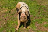 foto of pig-breeding  - Spotted pig with black spots standing in a farm field one foot in front of the other - JPG