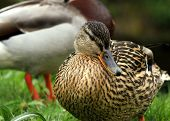 stock photo of male mallard  - A male and female Mallard duck on a riverbank - JPG