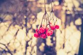 picture of rowan berry  - Red rowan mountain ash berries with fresh snow vintage photo effect - JPG