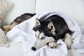 stock photo of husky  - Beautiful cute husky with towel lying on sofa in white room - JPG