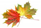picture of canada maple leaf  - close - JPG
