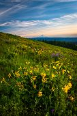 pic of wildflowers  - Wildflowers and view of Mount Hood from Tom McCall Point Columbia River Gorge Oregon - JPG