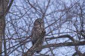 foto of snow owl  - A lone Great Grey Owl in a winter scene - JPG