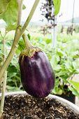 pic of aubergines  - big purple aubergine growing on the plant close up - JPG