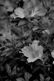 stock photo of azalea  - Beautiful azalea blooms on an azalea bush in black and white - JPG
