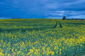 picture of rape-field  - Rape field landscape - JPG