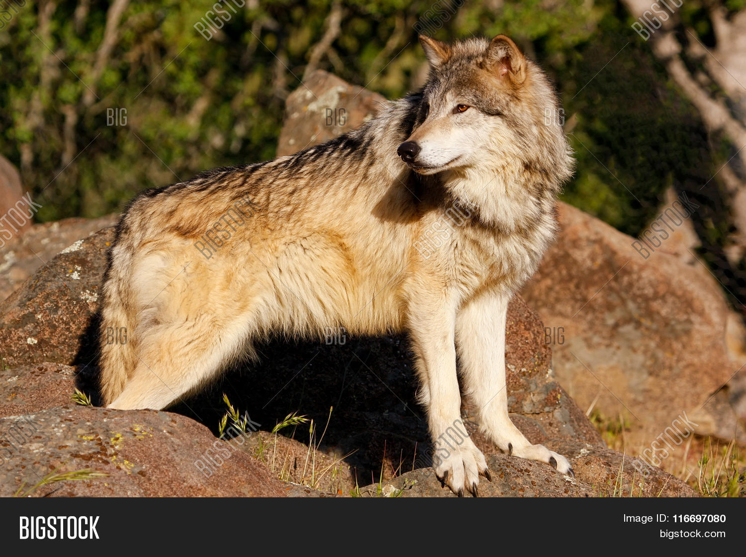 an introduction to the gray wolf or canis lupus