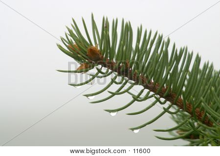 Pine Bow