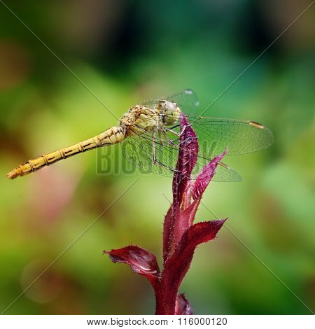 Large dragonfly on leaf flower