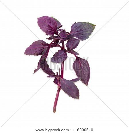 Sprig Of A Purple Basil On A Light Background