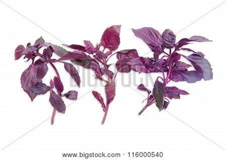 Three Sprigs Of A Purple Basil On A Light Background