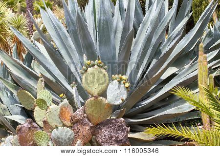 Blue agave tequila landscape in the botanical garden in Lloret de Mar, Spain.