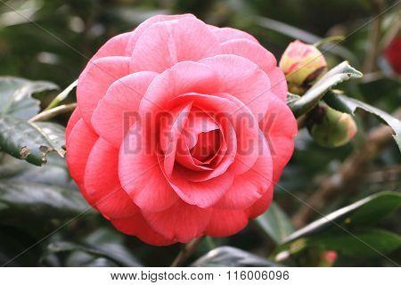 Red Camellia flower closeup