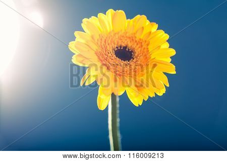 Yellow Gerbera Daisy, Against The Light, Blue Background