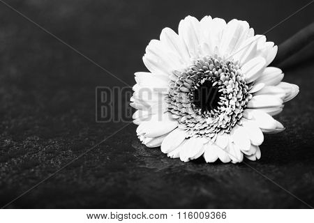 Gerbera Daisy, , Low Key On Black, Monochrome Converted