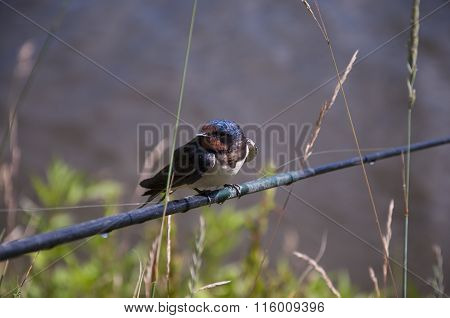 Portrait Of A Swallow Sitting On A Reed