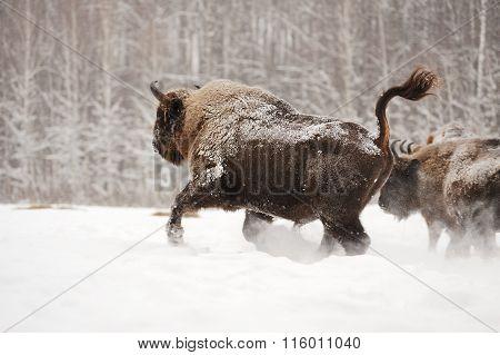 European Bison Running In Orlovskoye Polesie National Park In Russia In Winter