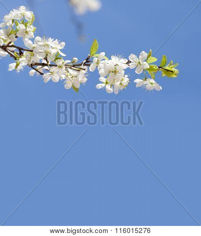 Apple tree blossom branch. blue sky background, copy space. spring time poster template.