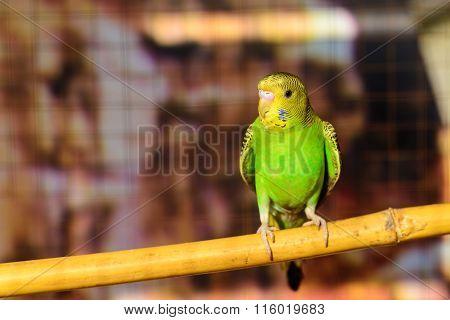 Little Budgerigar In A Birdcage