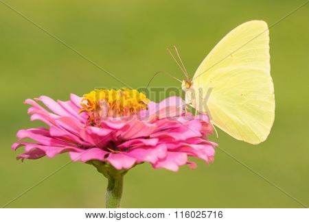 Bright yellow Phoebis sennae, Cloudless Sulphur butterfly on pink flower against green background