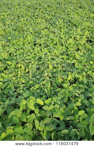 green soya bean crops in growth at farmland