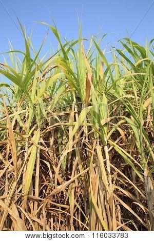 green sugarcane crops in growth at farmland