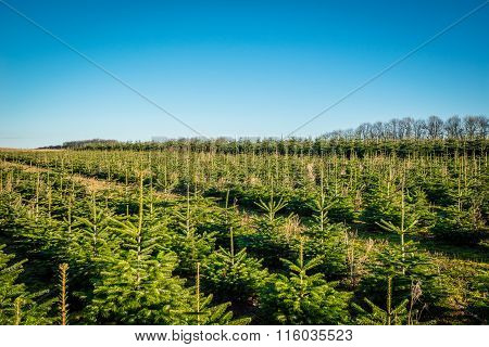 Pine Trees On A Row At A Plantation
