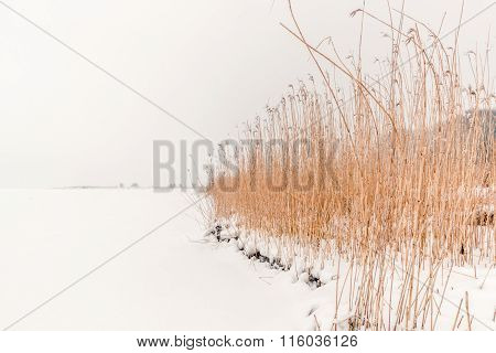 Rushes In The Winter Snow