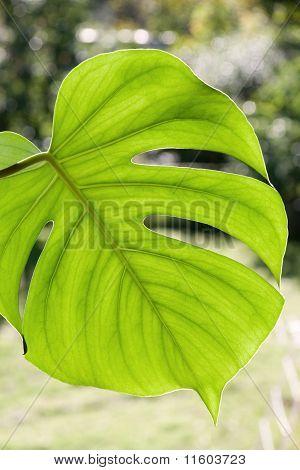 Large Monstera Deliciosa Leaf
