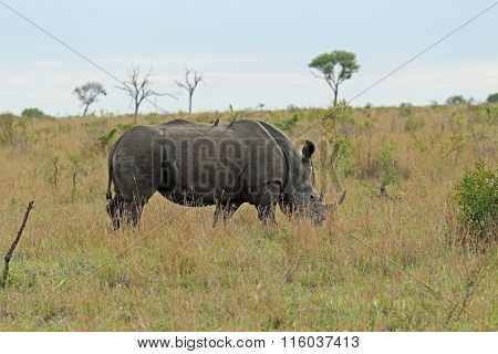 Eating rhinoceros