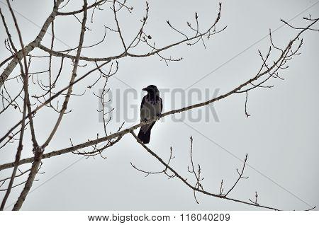 One Crow On A Tree