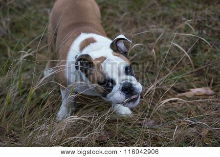 Dog bulldog chewing twigs and nasty