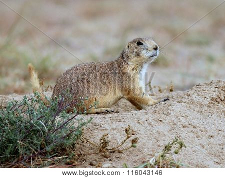 Prairie Dog in Colorado