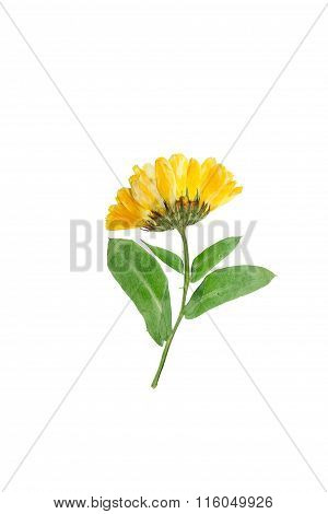 Pressed And Dried Delicate Flower Of Calendula Officinalis.