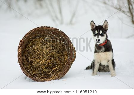 Siberian Husky In Snow On A Winter Day