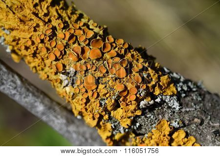 lichen Xanthoria the wall
