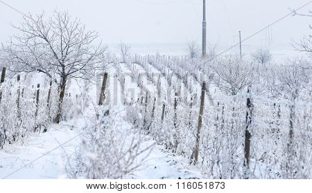 Wine Yard In Winter Full Of Snow