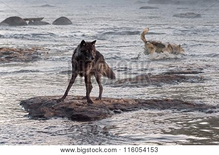 Grey Wolf (canis Lupus) Watches While Another Splashes Behind
