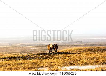 Pair of icelandic horses